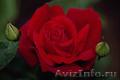 Розы садовые чайно-гибридные