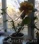 Продаю Гибискус (китайская роза)